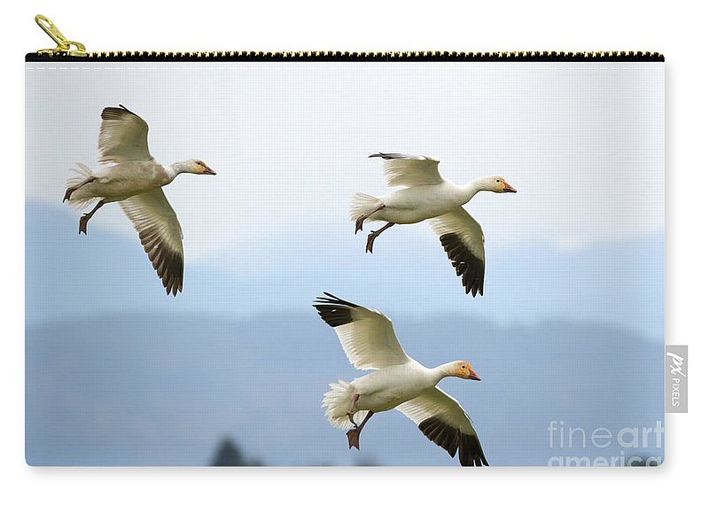 Snow Geese Carry-all Pouch featuring the photograph Pattern Of Three by Mike Dawson