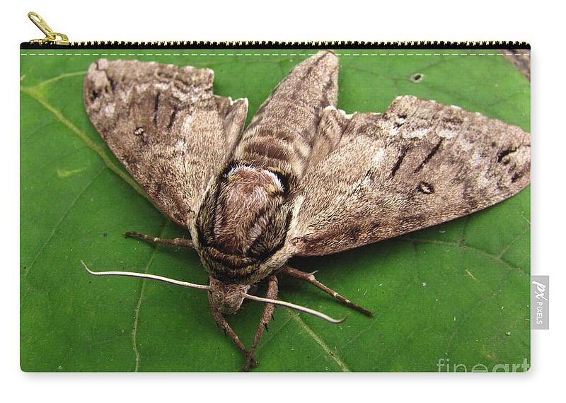 Plebeian Sphinx Moth Images Maryland Moth Prints Old Growth Forest Biodiversity Preservation Wildlife Habitat Conservation Rare Moth Prints Rare Moth Images Nocturnal Creature Images Natures Nightshift Entomology Cool Critter Prints Nature Photography Moth Photography Naturalist Forest Ecology Woodland Wonders Creatures Of The Night Explore Nature Discovery Animal Planet Macro Photography Environmental Science Metamorpheses Natural Design Intelligent Design Lifeform Forest Being Endangered Ecosystem Protection Stop Sprawl Carry-all Pouch featuring the photograph Plebeian Sphinx Moth by Joshua Bales