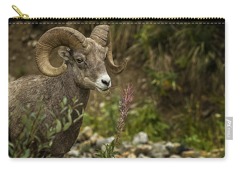Big Horn Sheep Carry-all Pouch featuring the photograph Ram Eating Fireweed by Belinda Greb