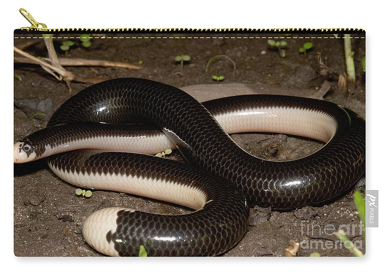 Worm Snake Carry-all Pouch featuring the photograph Reticulate Worm Snake by Dant� Fenolio