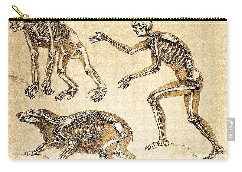 Historic Carry-all Pouch featuring the photograph Skeletons Of Man, Ape, Bear, 1860 by Wellcome Images