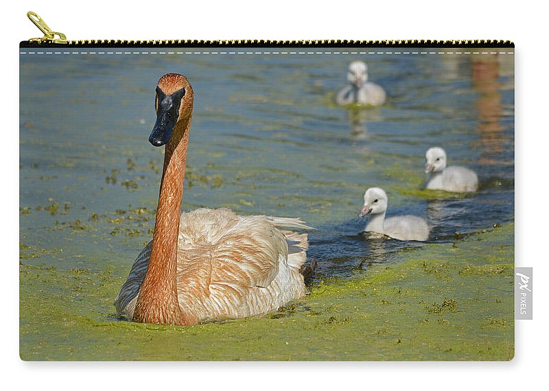 Trumpeter Carry-all Pouch featuring the photograph Trumpeter Swan And Cygnets by Whispering Peaks Photography