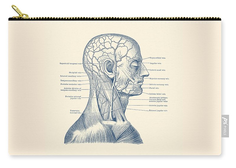 Human Head Carry-all Pouch featuring the drawing Vascular And Muscular System - Vintage Anatomy Print by Vintage Anatomy Prints