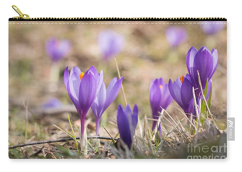 Asparagales Carry-all Pouch featuring the photograph Wild Crocus Balkan Endemic by Jivko Nakev
