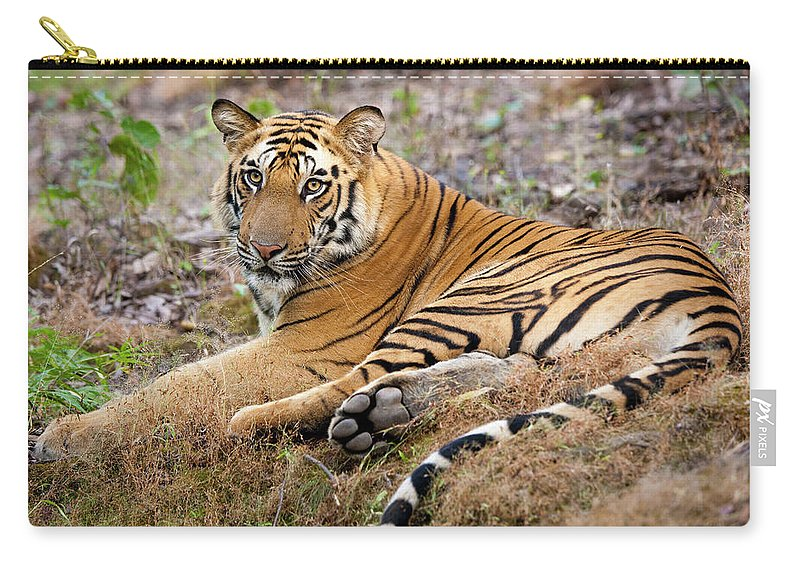 Looking Over Shoulder Carry-all Pouch featuring the photograph An Adult Tiger In Bandhavgarh National by Mint Images - Art Wolfe