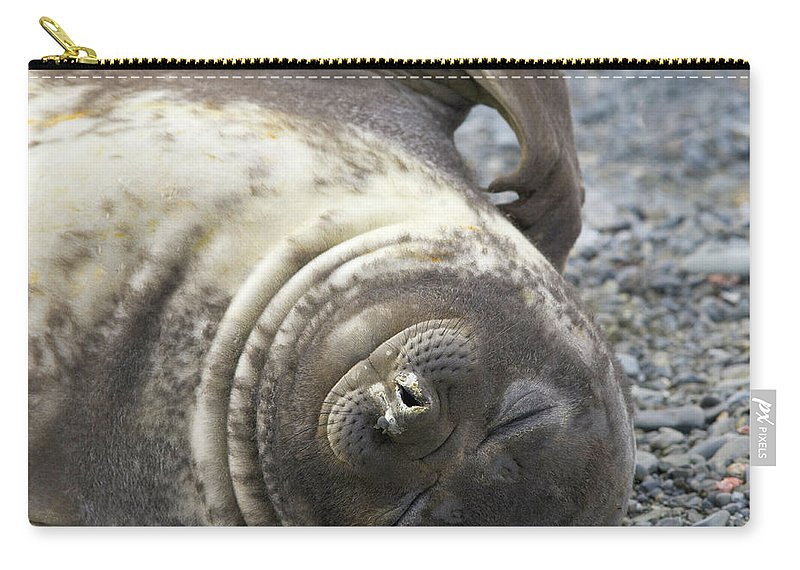 South Georgia Island Carry-all Pouch featuring the photograph Southern Elephant Seal Weaner Pup by Eastcott Momatiuk