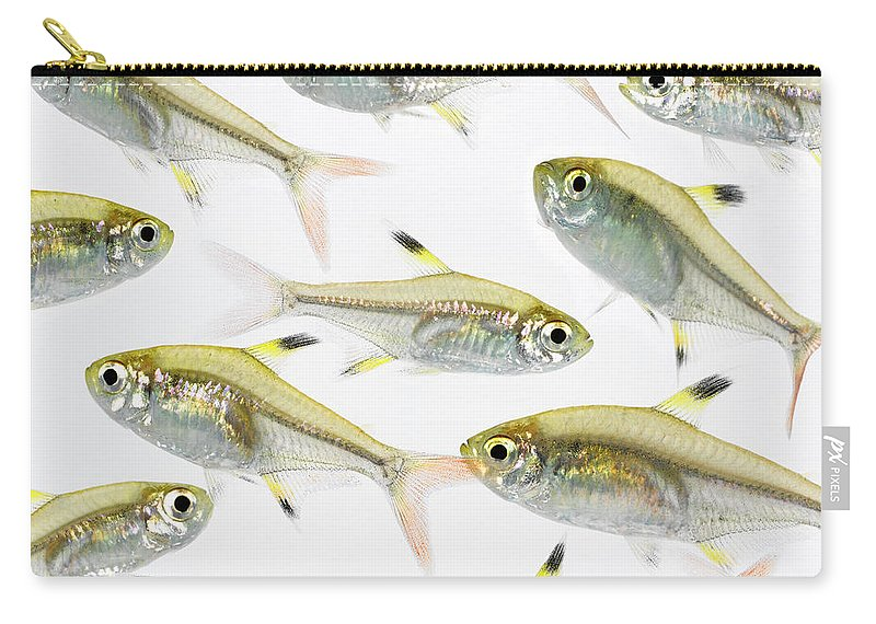 White Background Carry-all Pouch featuring the photograph School Of X-ray Tetra Fish Pristella by Don Farrall
