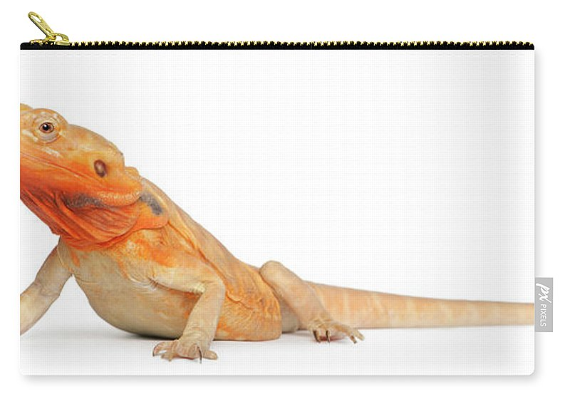 Belgium Carry-all Pouch featuring the photograph Silkbacks Scaleless Bearded Dragon by Life On White