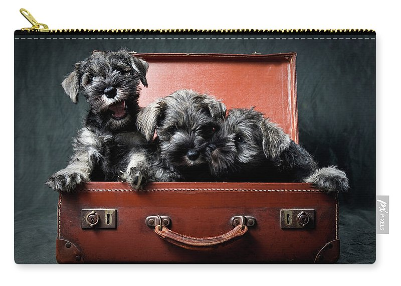 Pets Carry-all Pouch featuring the photograph Three Miniature Schnauzer Puppies In by Steve Collins / Momofoto