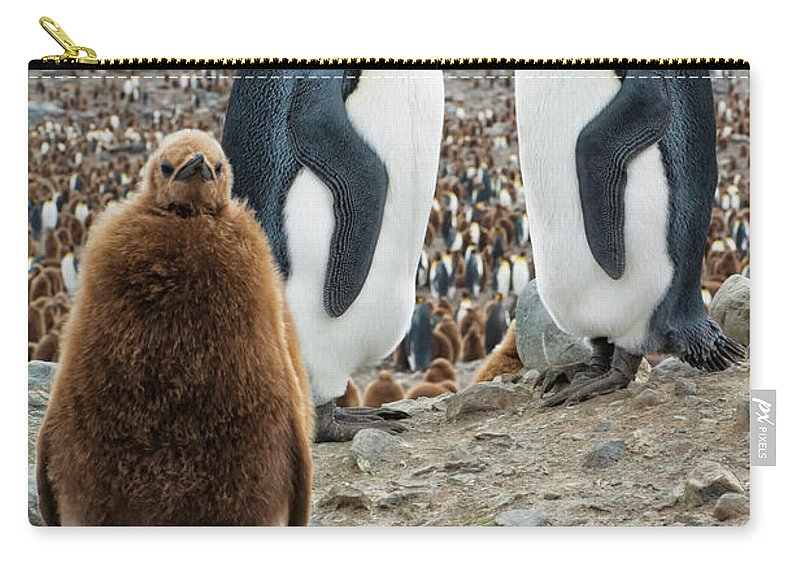 Animals In The Wild Carry-all Pouch featuring the photograph Two King Penguins And A Chick by Gabrielle Therin-weise