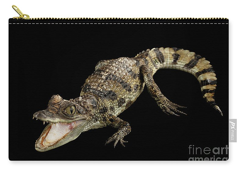 Crocodile Carry-all Pouch featuring the photograph Young Cayman Crocodile, Reptile With Opened Mouth And Waved Tail Isolated On Black Background In Top by Sergey Taran