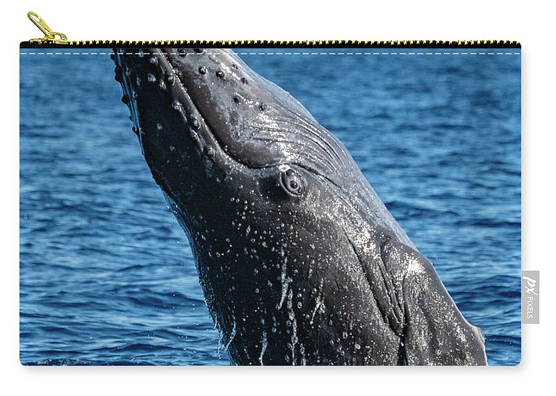 00595515 Carry-all Pouch featuring the photograph Juvenlie Humpback Breaching by Flip Nicklin