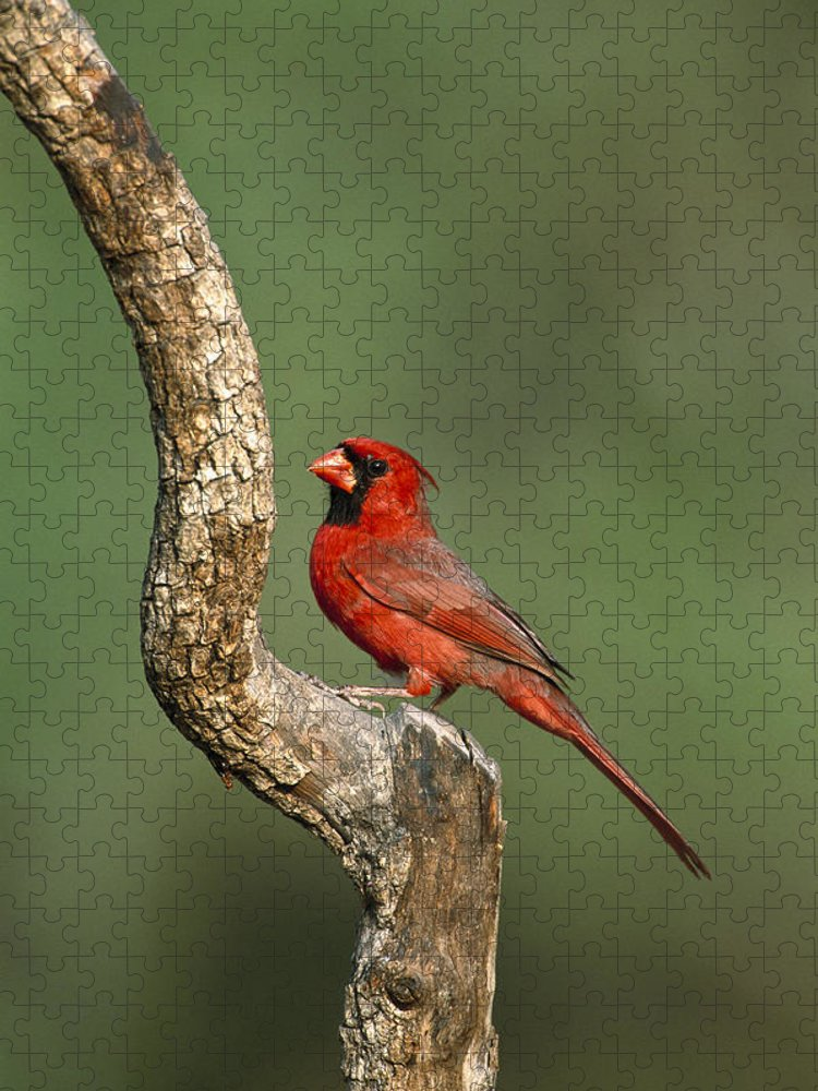 Feb0514 Puzzle featuring the photograph Northern Cardinal Male Texas by Tom Vezo