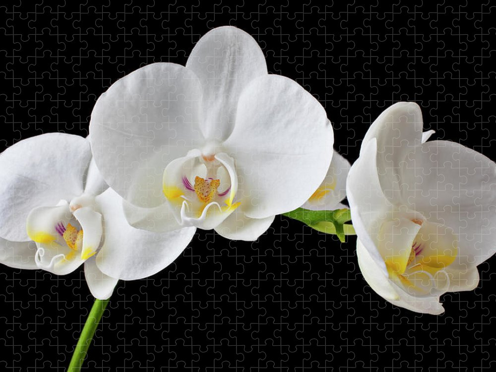 Black Background Puzzle featuring the photograph White Orchid by Garry Gay