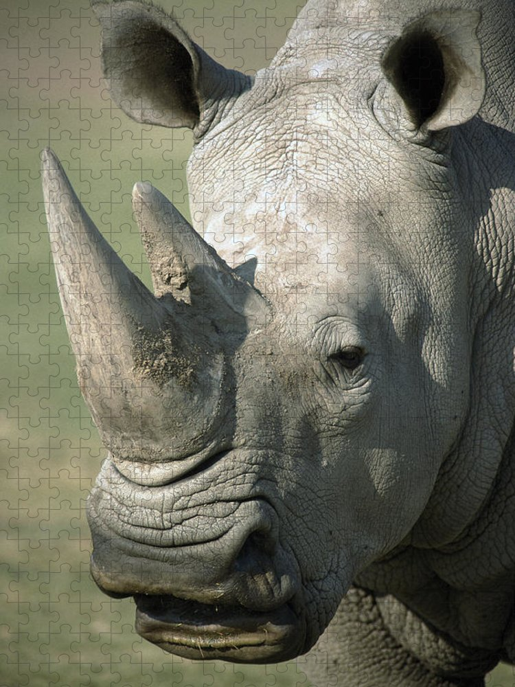 Feb0514 Puzzle featuring the photograph White Rhinoceros Portrait by San Diego Zoo