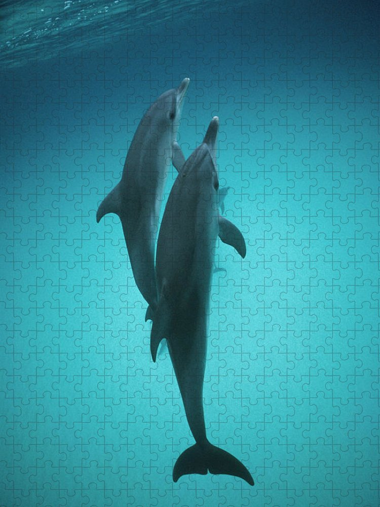 Feb0514 Puzzle featuring the photograph Atlantic Spotted Dolphin Pair Bahamas by Flip Nicklin