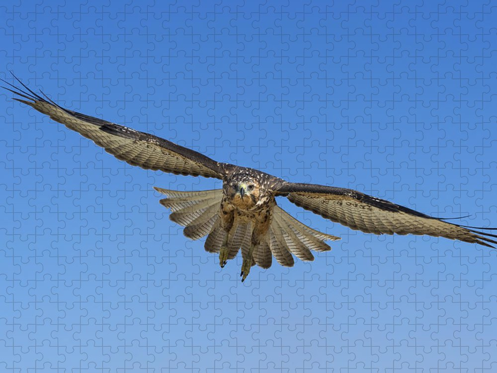 531726 Puzzle featuring the photograph Galapagos Hawk Flying Alcedo Volcano by Tui De Roy