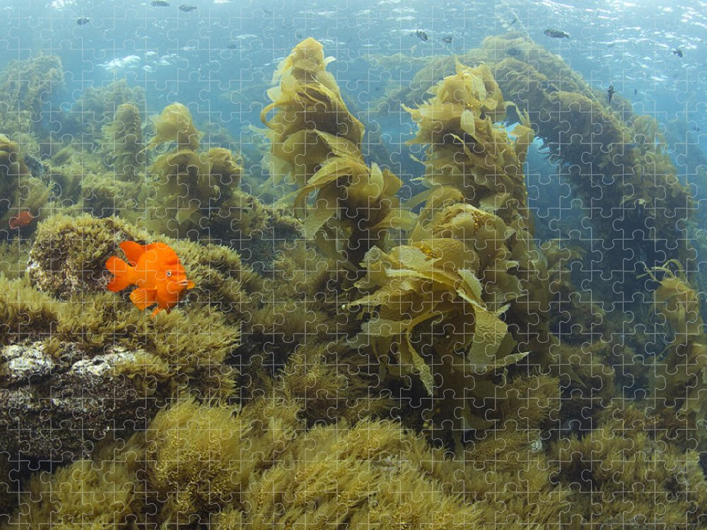 531465 Puzzle featuring the photograph Garibaldi In Giant Kelp Forest Catalina by Richard Herrmann