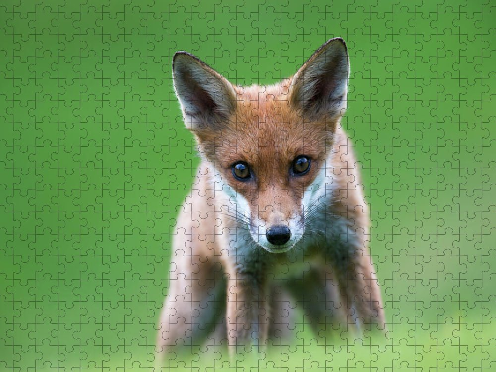 Conspiracy Puzzle featuring the photograph Red Fox Cub Portrait by James Warwick