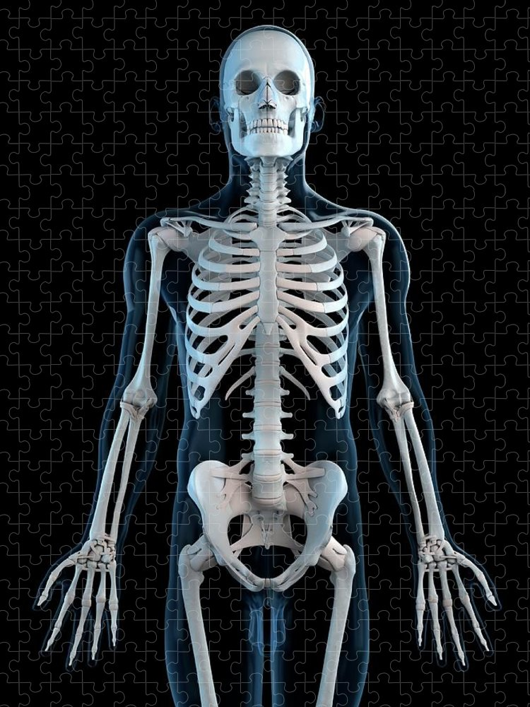 Physiology Puzzle featuring the digital art Human Skeleton, Artwork by Sciepro
