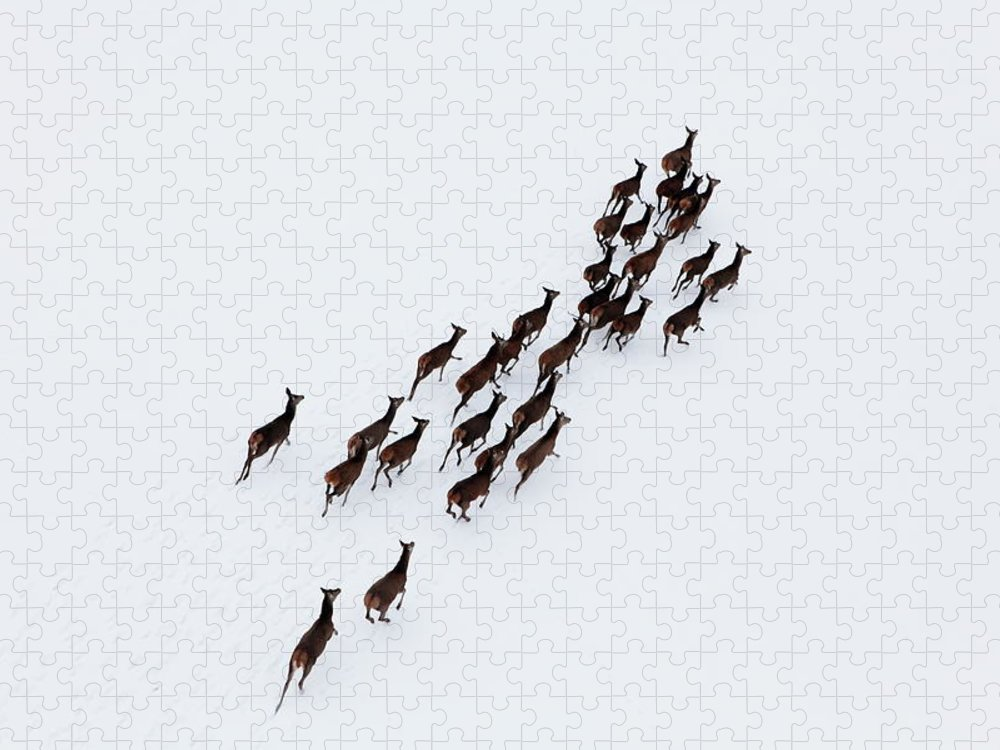 Scenics Puzzle featuring the photograph Aerial Photo Of A Herd Of Deer Running by Dariuszpa