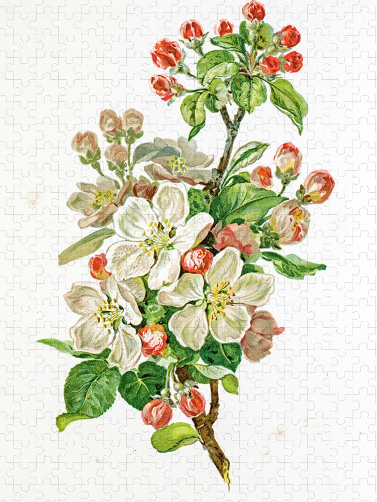 Cherry Puzzle featuring the digital art Apple Blossom 19 Century Illustration by Mashuk