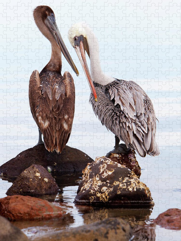 People Puzzle featuring the photograph Brown Pelicans Preening Pelecanus by Anna Henly