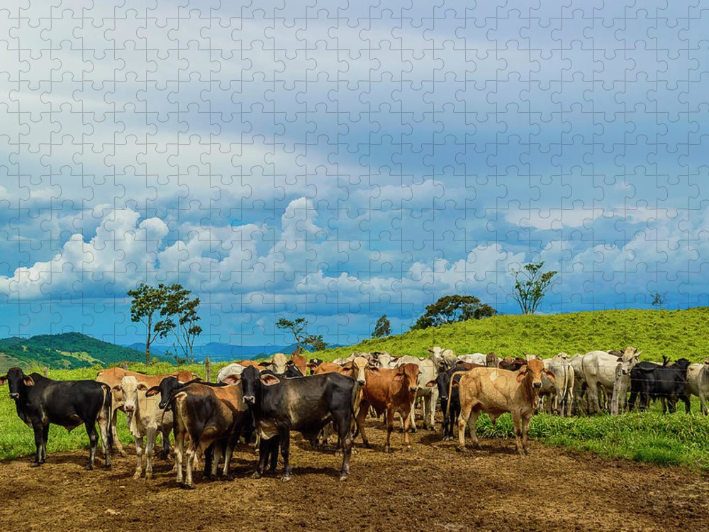 Grass Puzzle featuring the photograph Cattle by Kcris Ramos