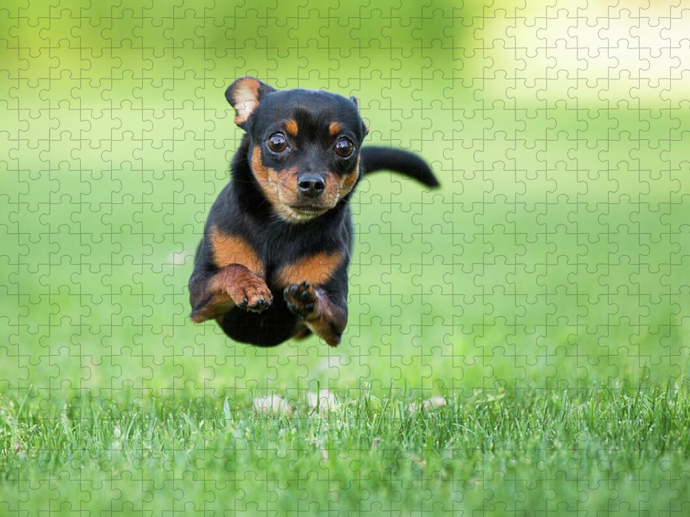 Pets Puzzle featuring the photograph Chihuahua Dog Running by Purple Collar Pet Photography