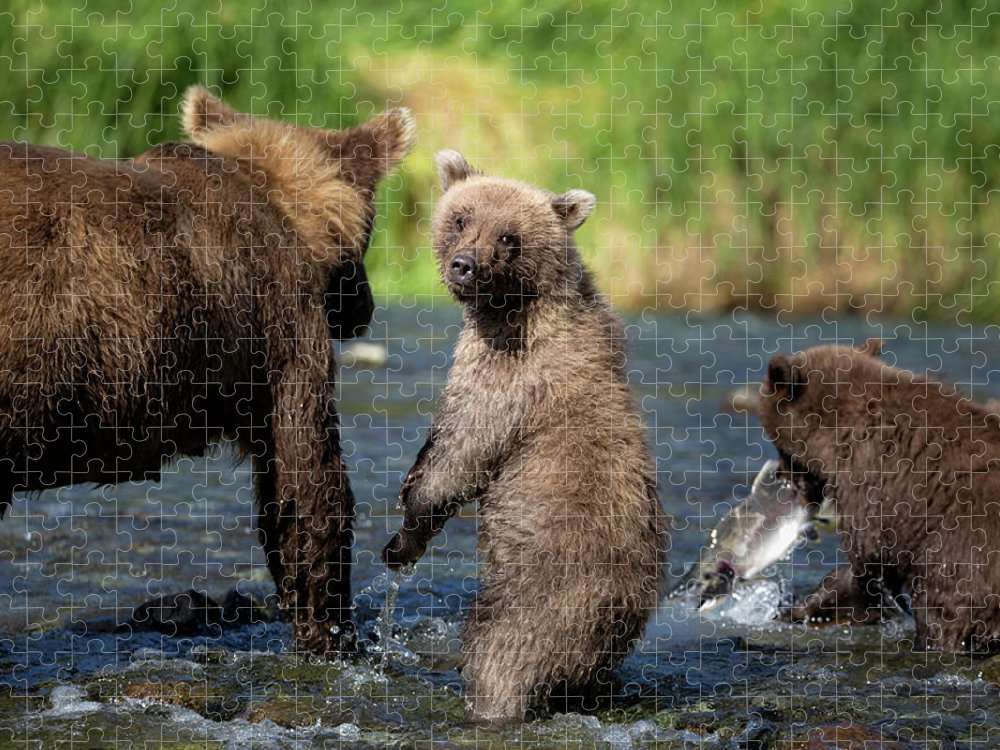 Katmai Peninsula Puzzle featuring the photograph Coastal Brown Bear Family by Justinreznick