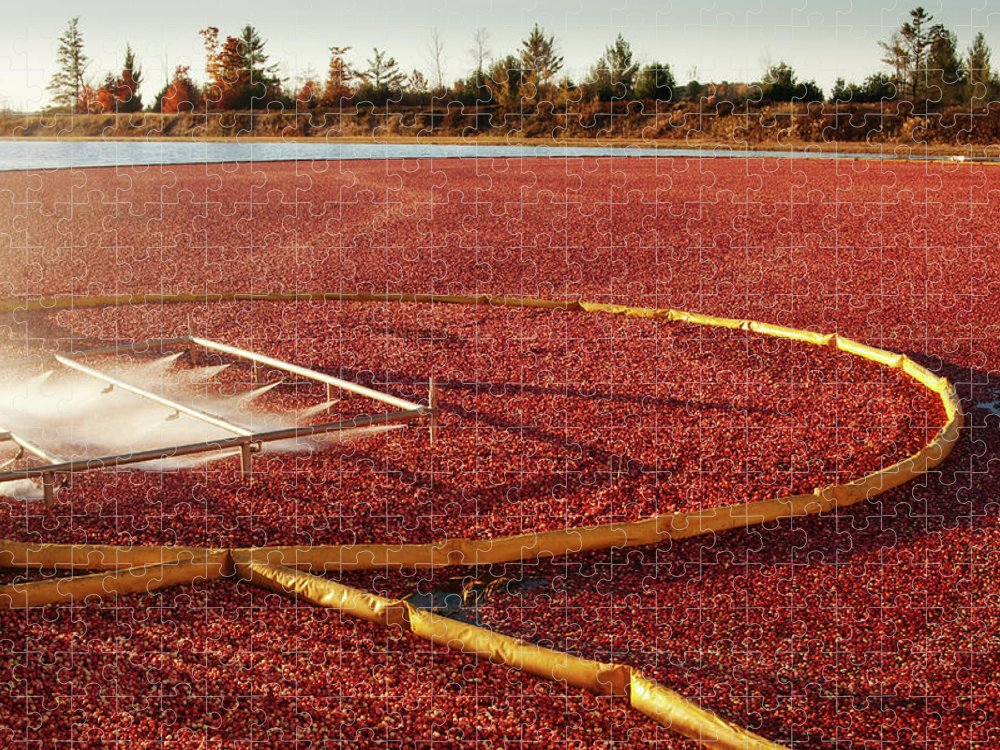 Working Puzzle featuring the photograph Cranberry Farm Harvesting For by Yinyang