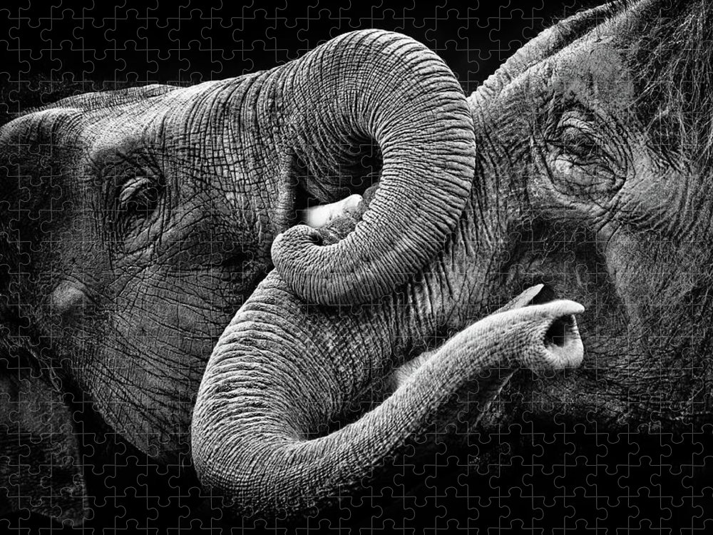 Animal Trunk Puzzle featuring the photograph Elephant Kiss by Courtesy Of