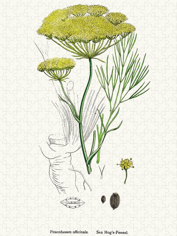 White Background Puzzle featuring the digital art Fennel Plant Scientific Illustration by Mashuk