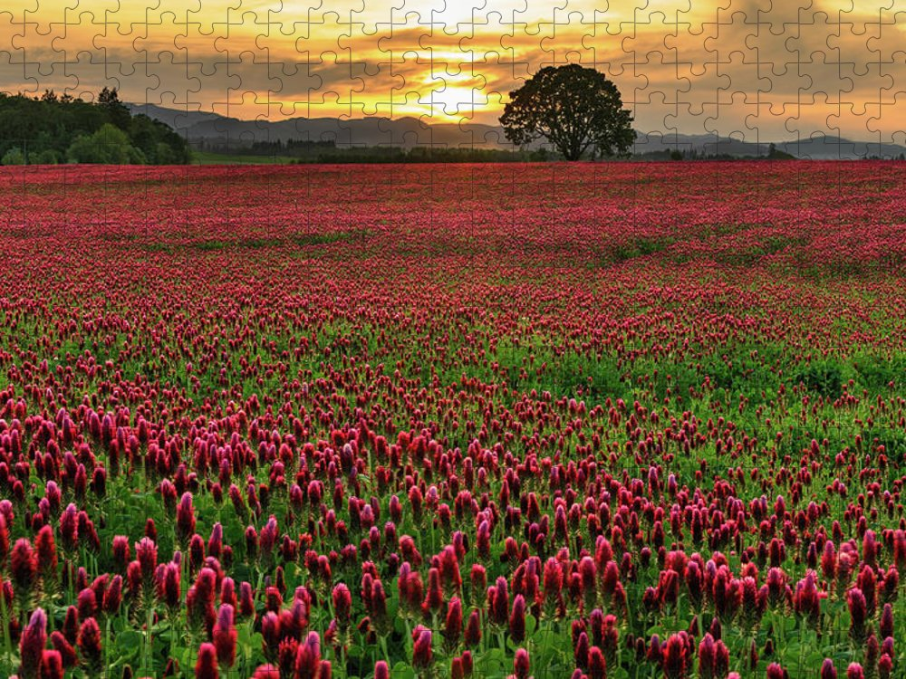 Scenics Puzzle featuring the photograph Field Of Crimson Clover With Lone Oak by Jason Harris