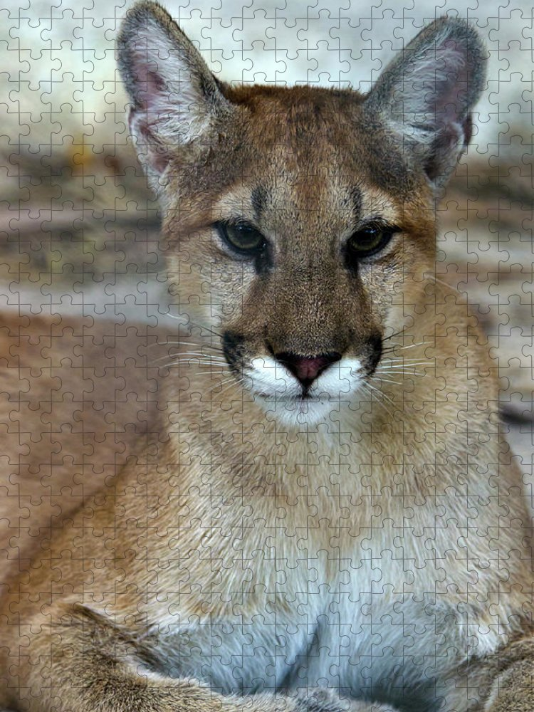 Animal Themes Puzzle featuring the photograph Florida Panther, Endangered by Mark Newman