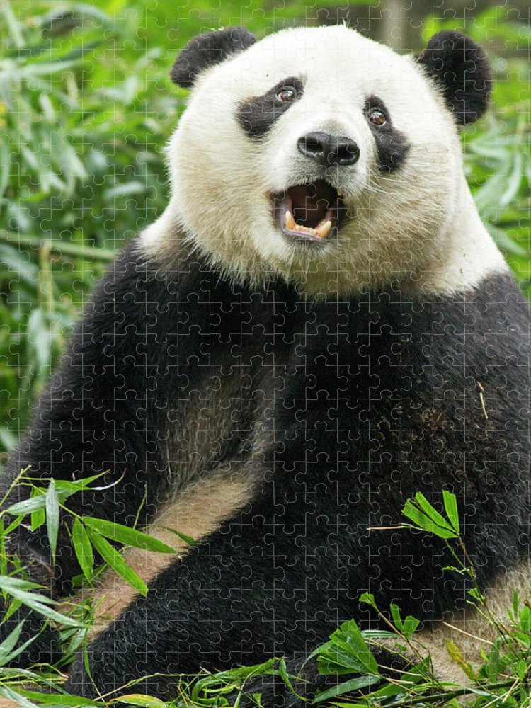 Panda Puzzle featuring the photograph Giant Panda, Chengdu, China by Paul Souders