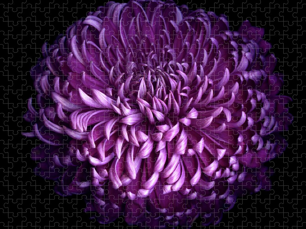 Chrysanthemum Puzzle featuring the photograph Glorious Autumn Purple Chrysanthemum by Photograph By Magda Indigo