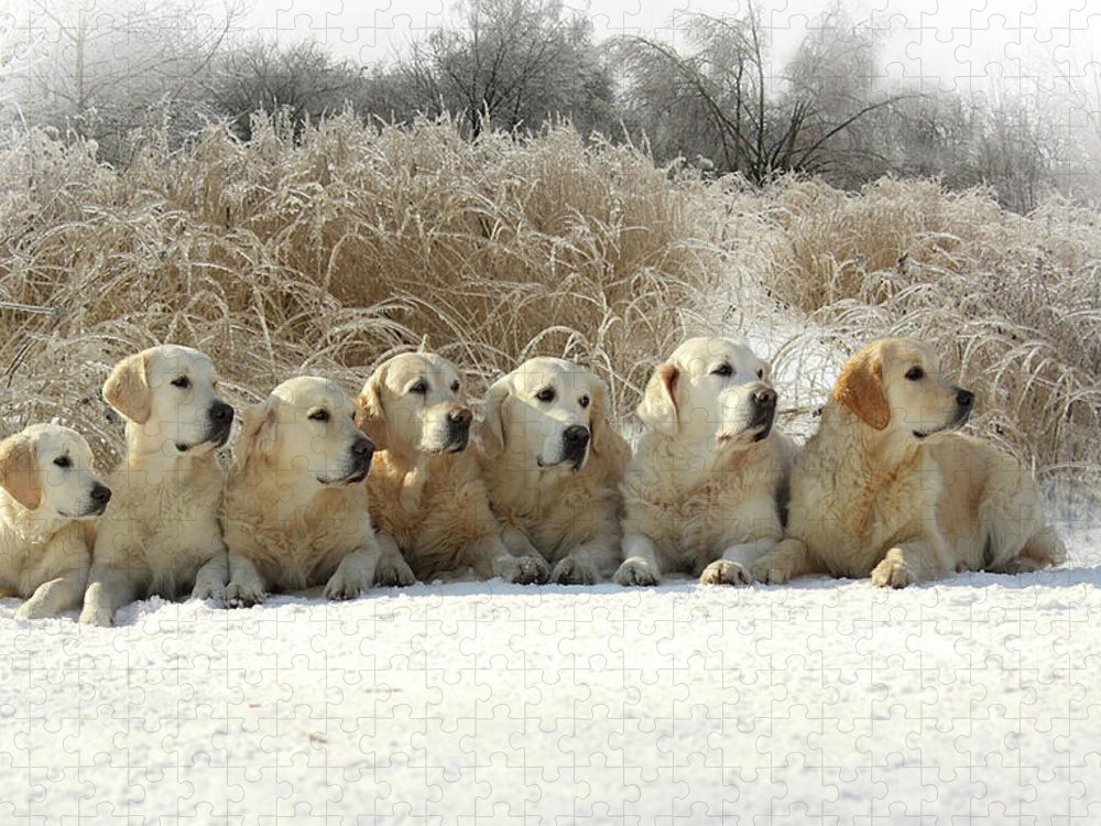Pets Puzzle featuring the photograph Golden Retrievers by Sergey Ryumin