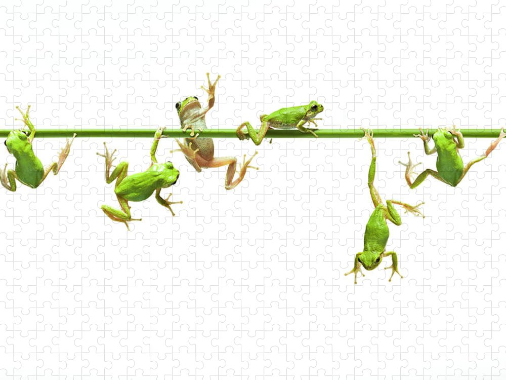 Hanging Puzzle featuring the photograph Green Flogs Each Other Freely On Stem by Yuji Sakai