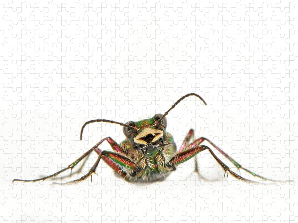 White Background Puzzle featuring the photograph Green Tiger Beetle by Robert Trevis-smith