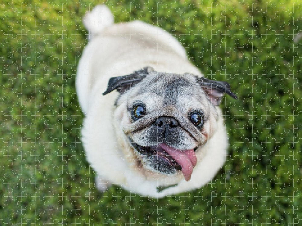 Pets Puzzle featuring the photograph Happy Pug Dog Looks Up At Camera by Purple Collar Pet Photography