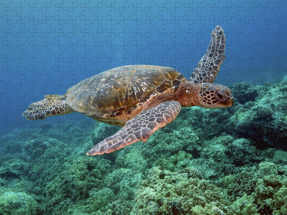 Underwater Puzzle featuring the photograph Hawaiian Green Sea Turtle, Kona, Hawaii by Stevedunleavy.com