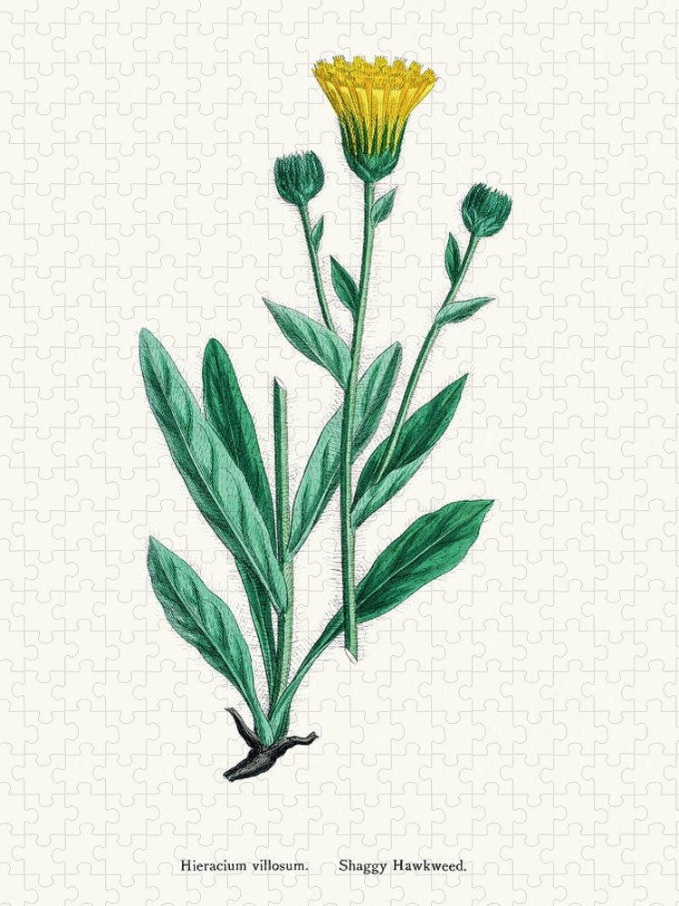Art Puzzle featuring the digital art Hawkweed Chicory Plant 19th Century by Mashuk