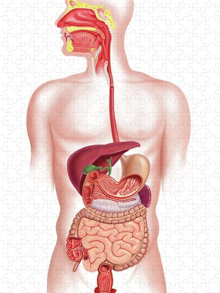 Anus Puzzle featuring the digital art Human Digestive System, Artwork by Science Photo Library - Leonello Calvetti