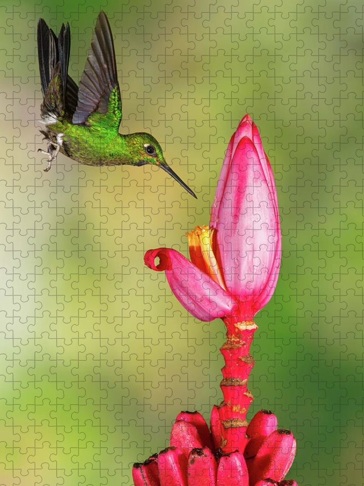 Green-crowned Brilliant Puzzle featuring the photograph Hummingbird , Green-crowned Brilliant by Kencanning