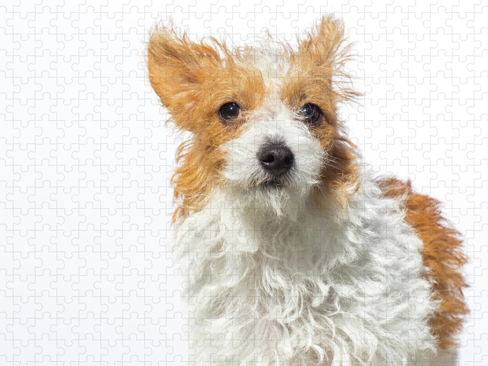Pets Puzzle featuring the photograph Jack Russell Terrier - The Amanda by Amandafoundation.org