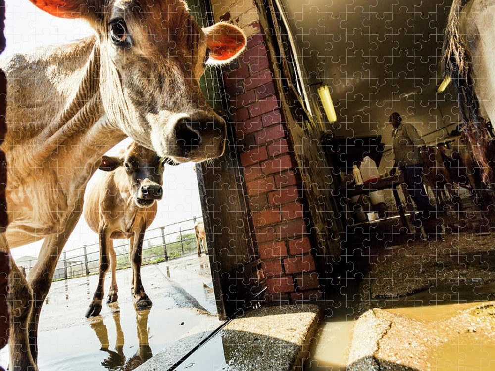 Mature Adult Puzzle featuring the photograph Jersey Cows On An Organic Dairy Farm by Matt Mawson