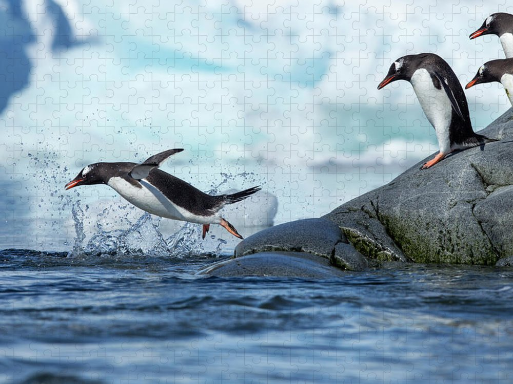Water's Edge Puzzle featuring the photograph Leaping Gentoo Penguins, Antarctica by Paul Souders