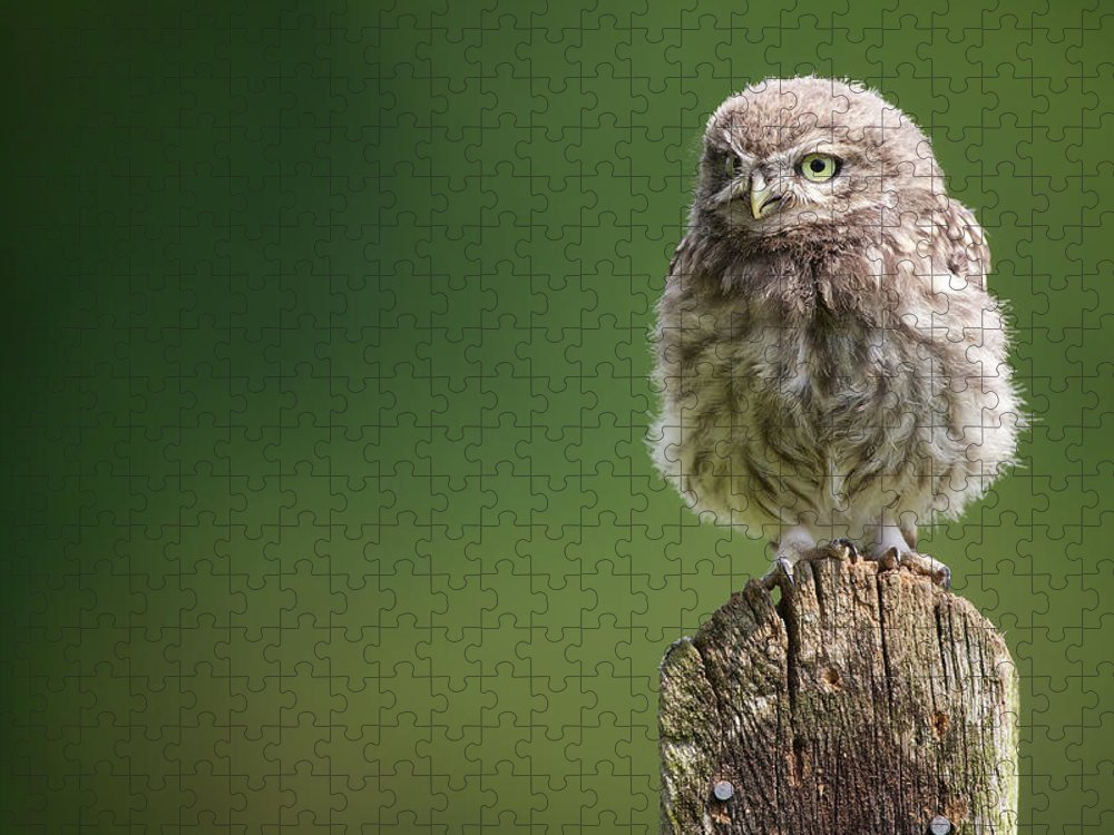 Owlet Puzzle featuring the photograph Little Fuzzy by Markbridger