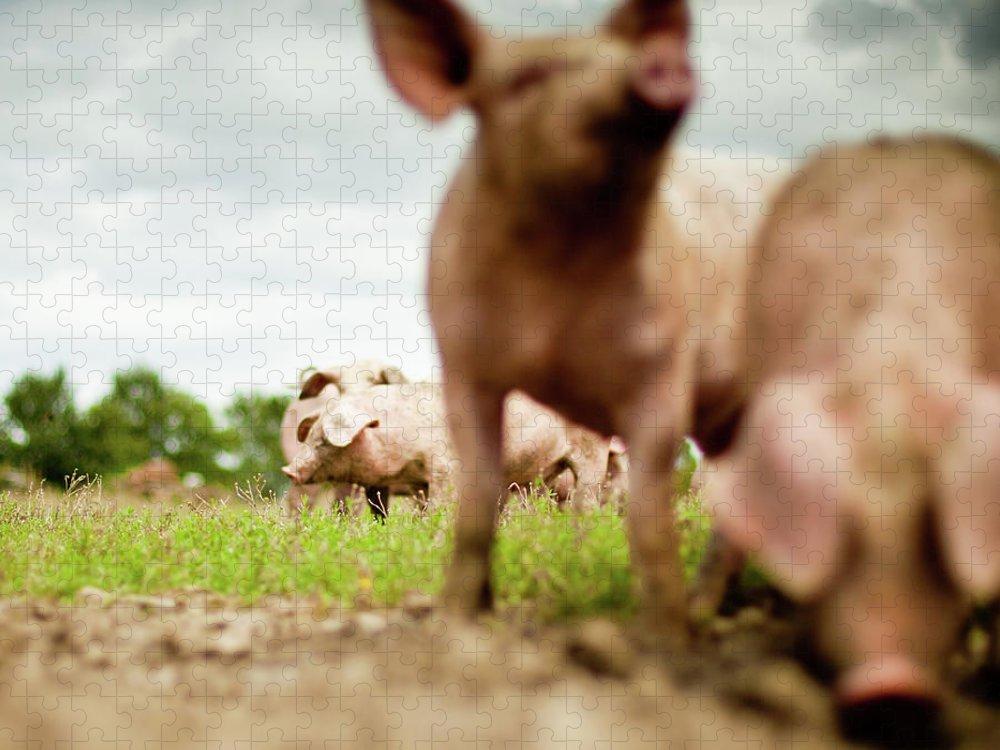 Pig Puzzle featuring the photograph Little Pigs by Emmanuelle Brisson